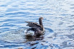 Canadian goose in water. Canadian goose swimming in the canal water on a sunny day stock images