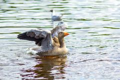 Gray goose on canal water is going to fly. A Gray goose on canal water with wings up is going to fly stock image