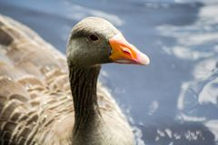 Canadian goose standing in water. And cleaning feathers, beautiful shot stock photography