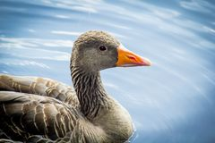 Canadian goose standing in water. Close up beautiful head shot shot stock photo