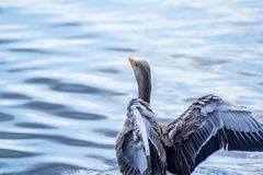 Canada goose on canal with wings up. Ready to fly stock photography
