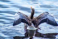 Canada goose on canal with wings up royalty free stock photos
