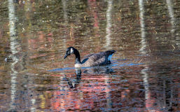 Canada Goose in a Chesapeake Bay Pand in Autumn Stock Images