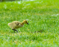 Canada goose chick. On grass royalty free stock photo