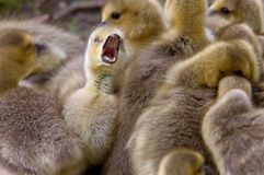 Canada Goose Chicks Royalty Free Stock Image