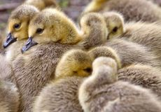 Canada Goose Chicks Royalty Free Stock Images