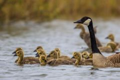 Canada goose with chicks Royalty Free Stock Photography