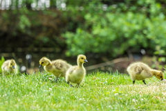 Canada goose chicks Stock Photography