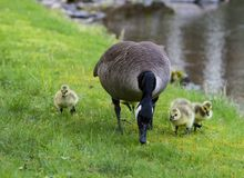 Canada Goose chicks learning from mom`s actions. Canada Goose chicks learn a lesson from mom stock photography