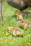 Canada Goose Chicks looking for food. 2 Canada Goose chicks eating grass in the foreground, with another and their mother in the background Stock Photo
