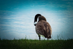 Canada goose. A Canada goose cleans the plumage on the shores of the Lake Royalty Free Stock Image
