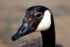 Canada Goose Close-Up. Close-up of Canada goose with his black head, eyes beak, neck and the white cheek patch they are known for on a gray background stock photo