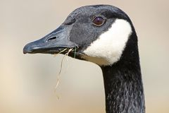 Canada Goose Close-up Portrait with Grass in a beak Royalty Free Stock Photography