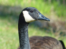 Canada Goose Closeup Royalty Free Stock Photo