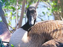 Canada Goose Closeup Sitting Down Resting Looking Straight Ahead Royalty Free Stock Images