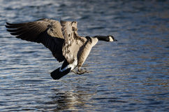 Canada Goose Coming in for a Landing on the Cold Winter River Stock Images