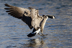 Canada Goose Coming in for a Landing on the Cold Winter River Stock Photography