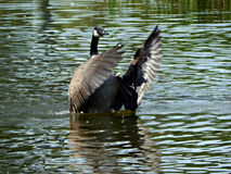 Canada Goose Conductor Royalty Free Stock Photography