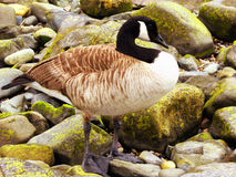 Canada Goose on Connecticut Silver Beach Stock Images