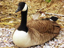 Canada Goose on Connecticut Silver Beach Royalty Free Stock Photography