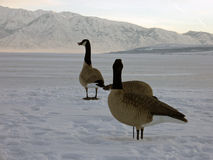 Canada Goose Decoy Stock Photos