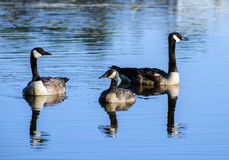 Canada Goose Drake and Hen with Gosling Royalty Free Stock Photography