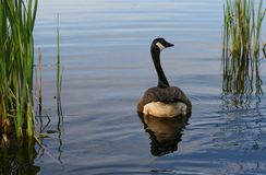 Canada Goose in Early Morning Royalty Free Stock Image