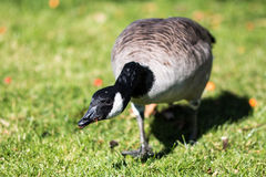 Canada Goose Eating Royalty Free Stock Photography
