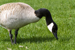 A Canada goose eating with a grass background Stock Photos
