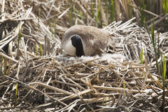 Canada goose with an egg in the nest, springtime, Massachusetts. Stock Photography