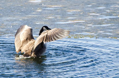 Canada Goose Encountering Ice Flow Stock Photography