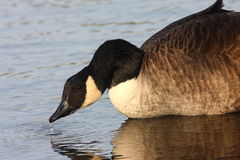 Canada Goose in evening light Stock Photography