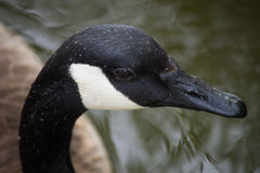 Canada Goose Face. An up close encounter with a Canada goose Royalty Free Stock Photo