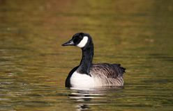 Canada Goose in Fall at Dusk stock image