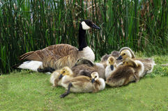 Canada goose family. Canada goose with her chicks Royalty Free Stock Photography