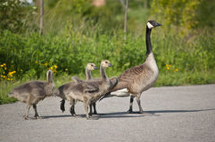 Canada Goose Family Stock Photos
