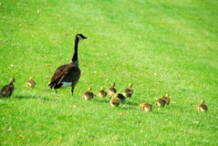 Canada goose family Royalty Free Stock Photo