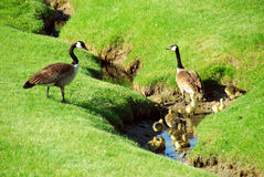 Canada goose family Royalty Free Stock Photos