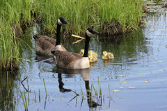 Canada Goose Family. Baby Canada Goslings with their parents Stock Image