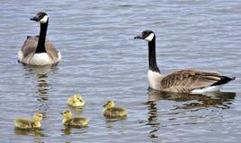Canada Goose Family Stock Photos