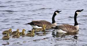 Canada Goose Family Stock Photography
