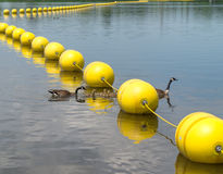 Canada Goose  family crossing under buoy line Royalty Free Stock Photo