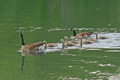 Canada Goose Family Stock Image