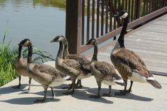 Canada Goose family Stock Images