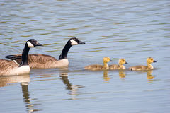 Canada Goose Family Swim. Canada goose, gander and three goslings swimming together stock image