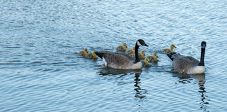 Canada goose Family swimming. Canada, Calgary: Canada goose with goslings crossing a pathway Royalty Free Stock Photo
