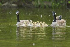 Canada Goose family Stock Photo