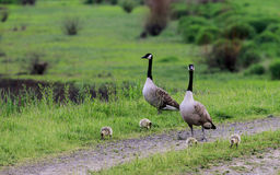 A Canada Goose family Stock Image