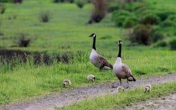 A Canada Goose family stock image