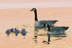 Canada Goose Family. Two geese tend their goslings Royalty Free Stock Photo